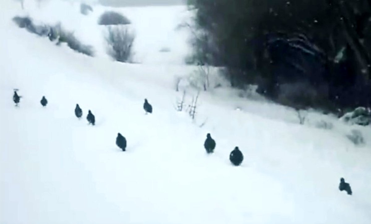 Kar üzerinde yürüyen keklikler hayran bıraktı