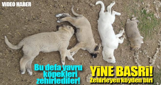 Polatlı'da bu defa yavru köpekleri zehirlediler!
