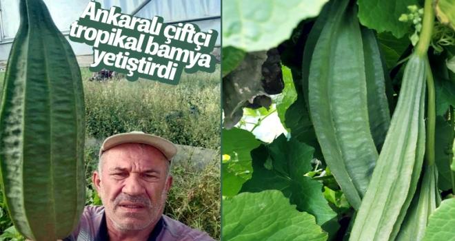Ankaralı çiftçi, tarlasında tropikal bamya yetiştirdi
