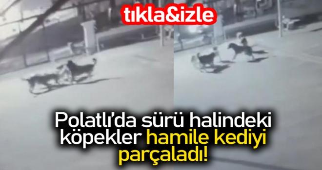 Polatlı'da sürü halindeki köpekler hamile kediyi parçaladı!